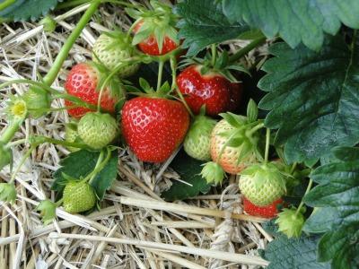 strawberries-196798_1920.jpg